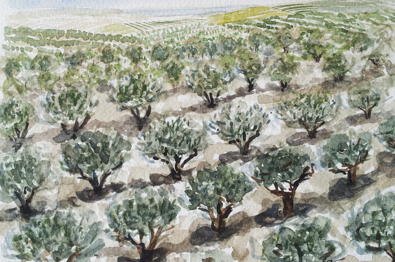 Olive trees in Tuscany watercolor by April Lombardi